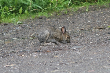 Snowshoe Hare 43