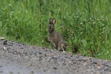 Snowshoe hare 89