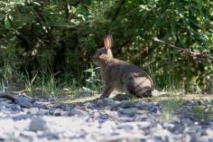 Snowshoe Hare hjik4