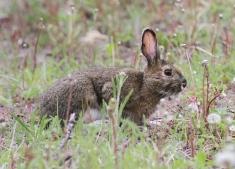 Snowshoe Hare jkk4