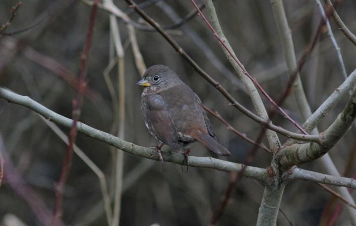 Sooty Fox Sparrow hghgh3.JPG