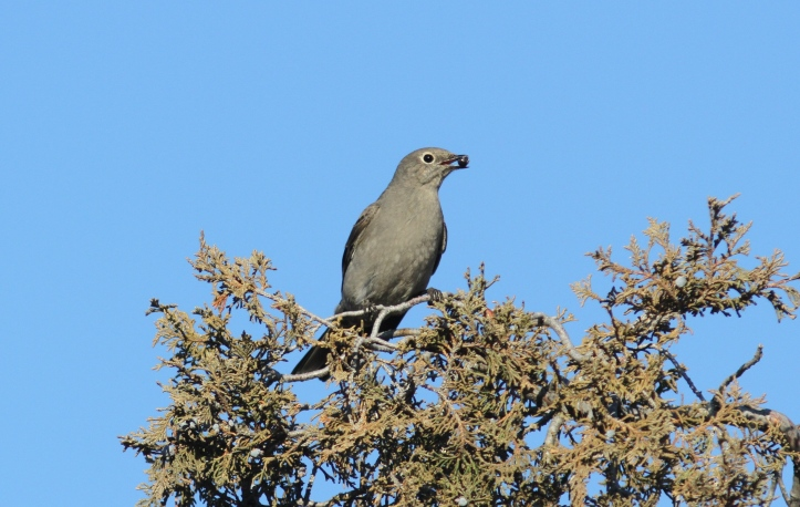Townsend's Solitaire 18 (2)