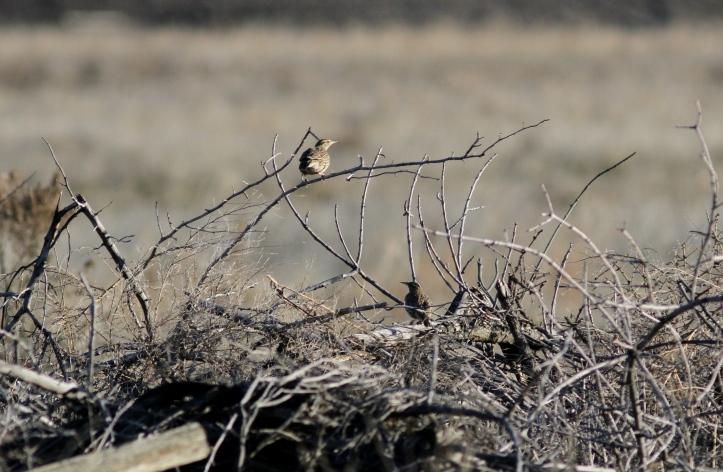 Western Meadowlark jhghj3