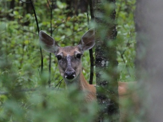 White-tailed Deer 879h3