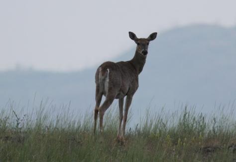 White-tailed Deer hjhjk3g