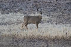 White-tailed Deer llktt
