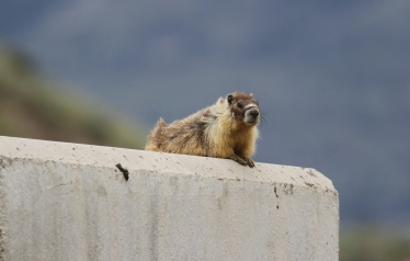 Yellow-bellied Marmot 89hjk4