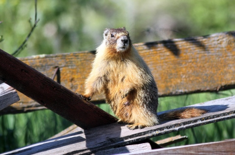 Yellow-bellied Marmot bhkj4