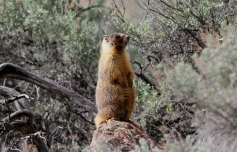Yellow-bellied Marmot ggh3