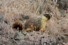 Yellow-bellied Marmot hgh342