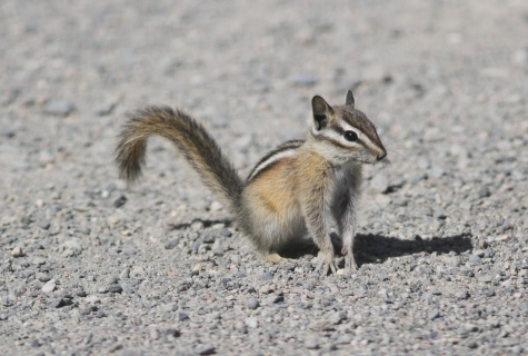 Yellow-pine Chipmunk (2)