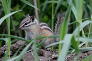 Yellow-pine chipmunk hj (4)