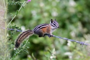 Yellow-pine chipmunk hj (5)