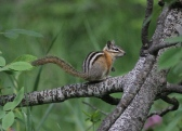 Yellow-pine Chipmunk jhhgy3