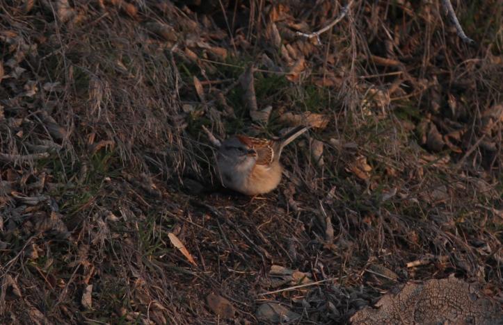 American Tree Sparrow ghkk3