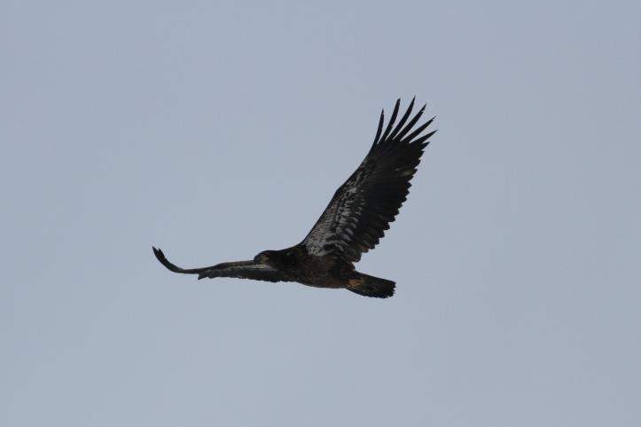 Bald Eagle gkhg3