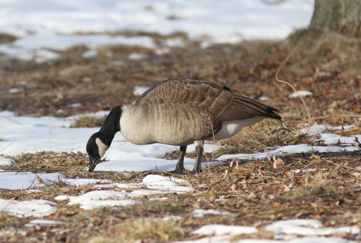 Canada goose hghhj3