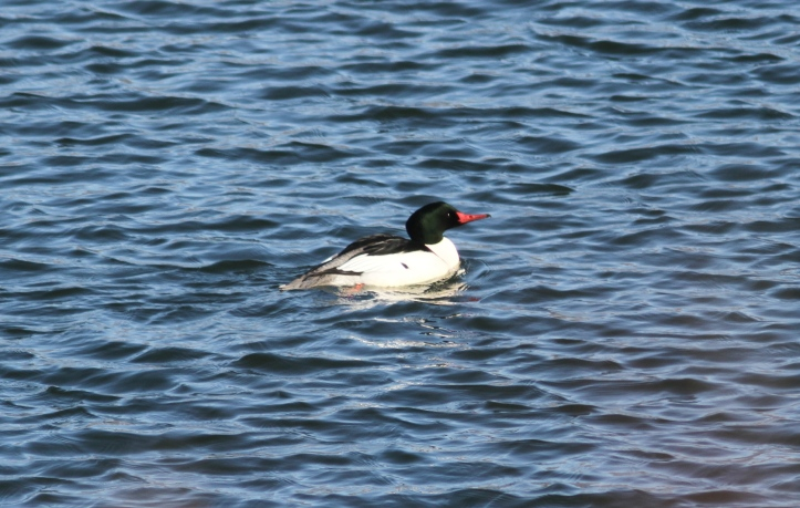 Common Merganser hkkhl3