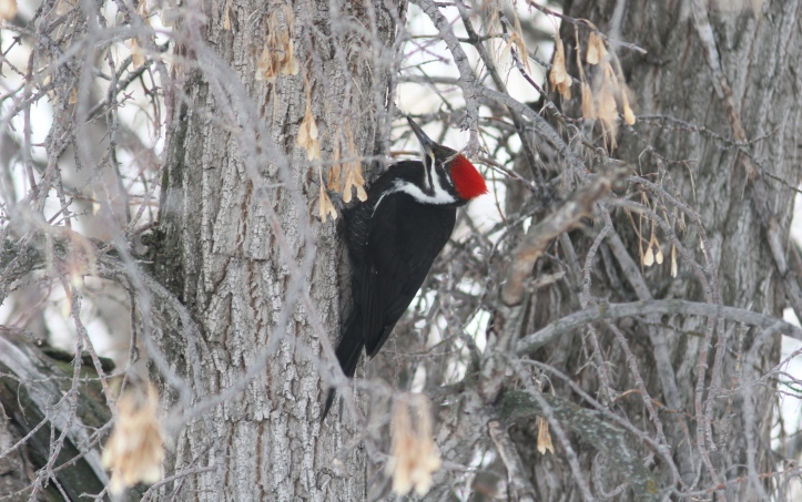 Pileated Woodpecker 78g3