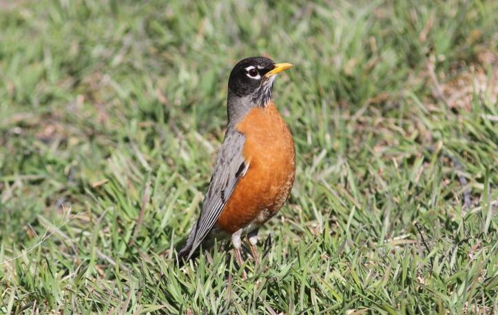American Robin 56fg2