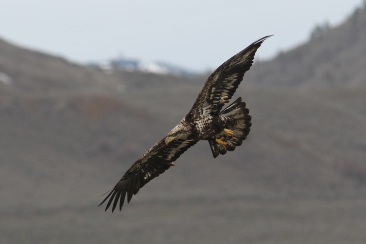Bald Eagle 9j3g