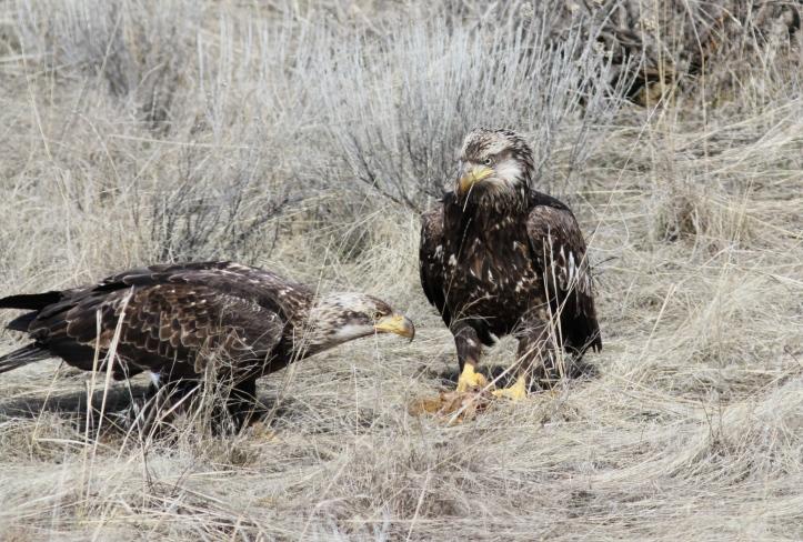 Bald Eagle khgh2