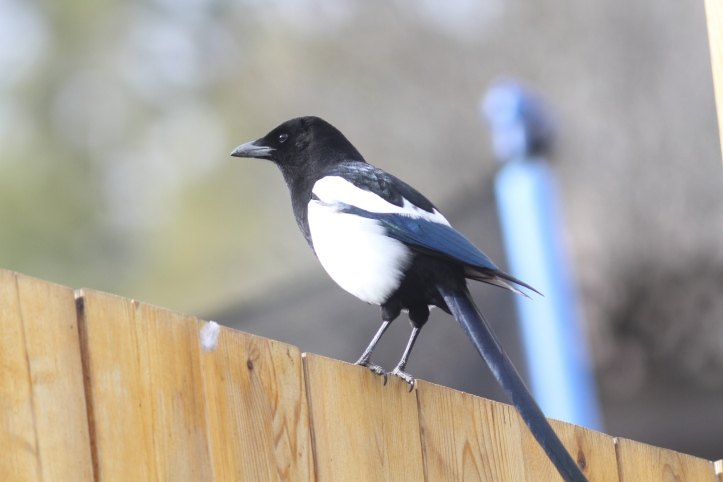 Black-billed Magpie 908982