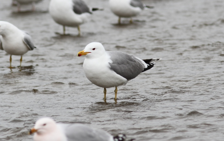 California Gull tyuy2