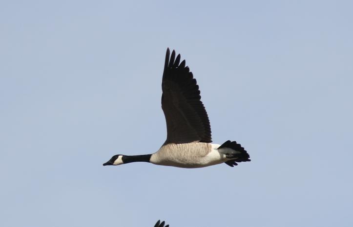Canada Goose 562f