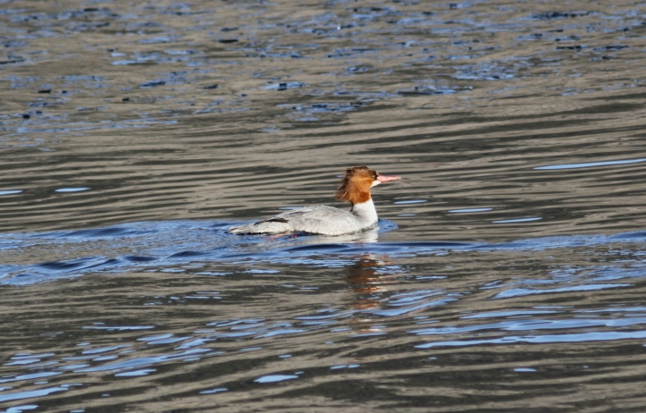Common Merganser 80hlj1