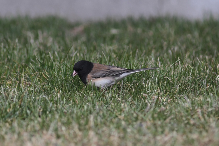 Dark-eyed Junco 96792