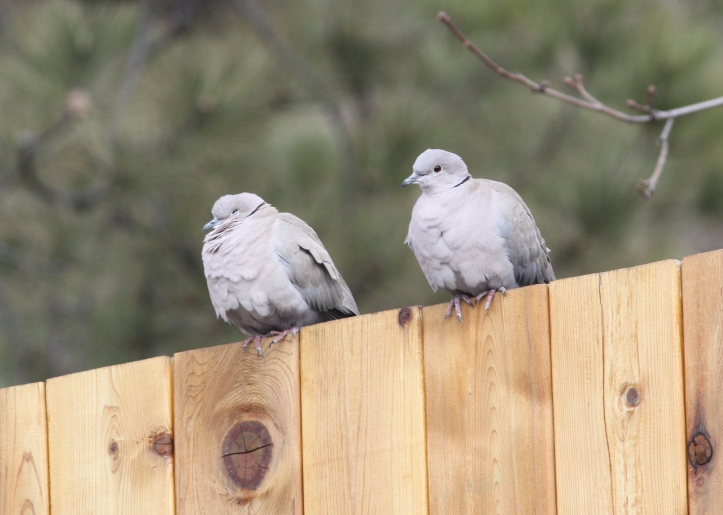 Eurasian COllared-Dove 4542