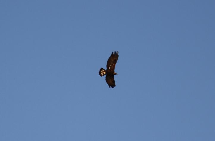 Golden Eagle jkw