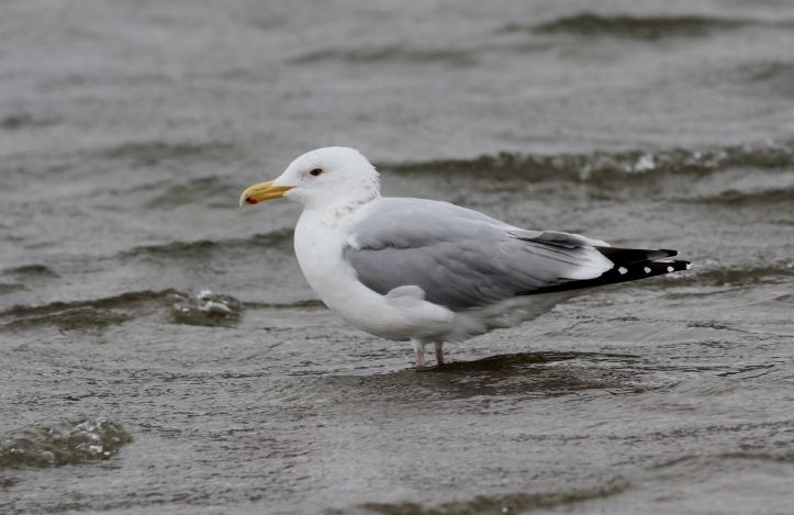 Herring Gull 9 (8)