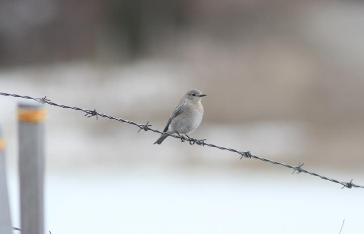 Mountain Bluebird h3