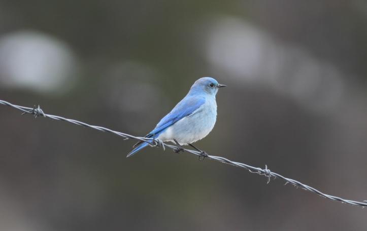 Mountain Bluebird h5