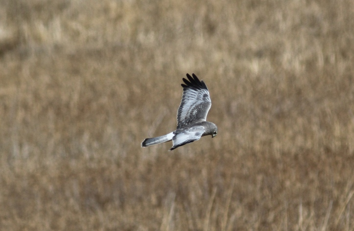 Northern Harrier 893 (8)