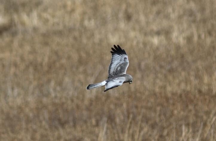 Northern Harrier 893 (8)