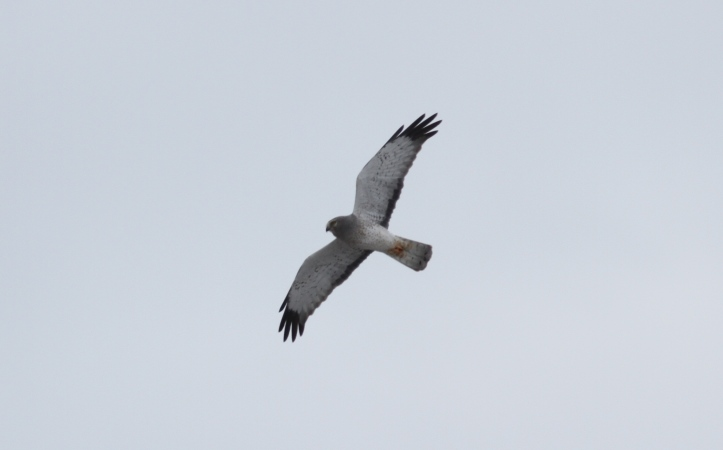 Northern Harrier ljkl3