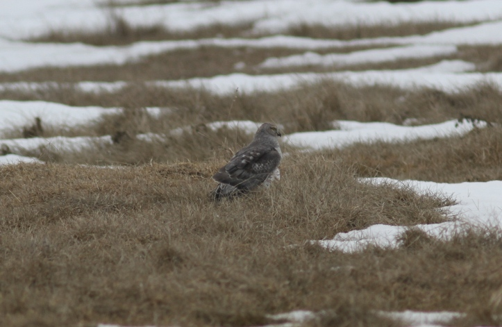 Northern Harrier lkljh3