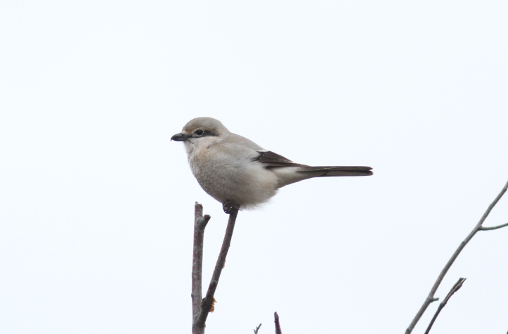 Northern Shrike 098hj