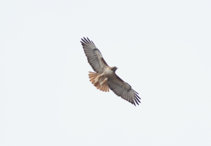 Red-tailed HAwk 908hjgk2