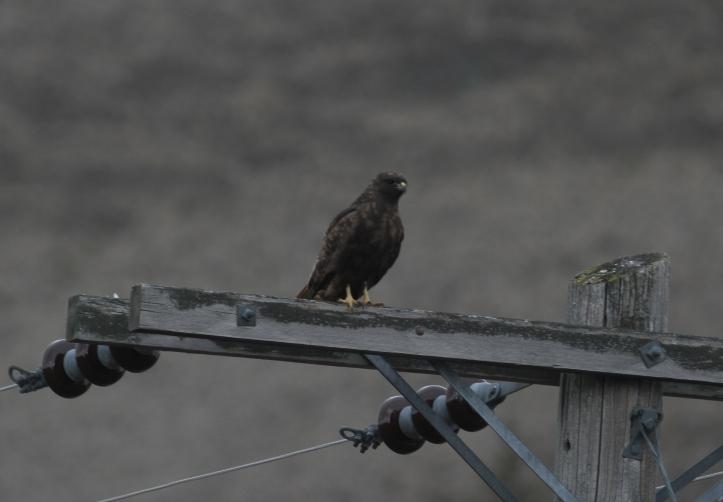 Red-tailed Hawk iujl2