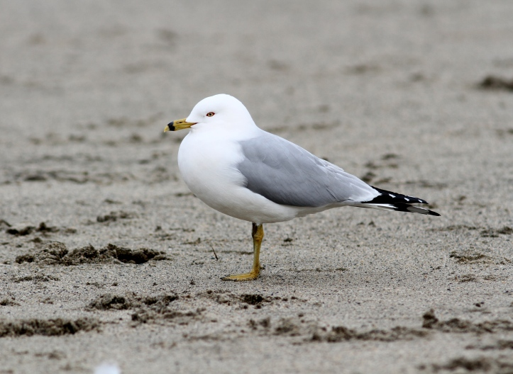Ring-billed Gull 078s