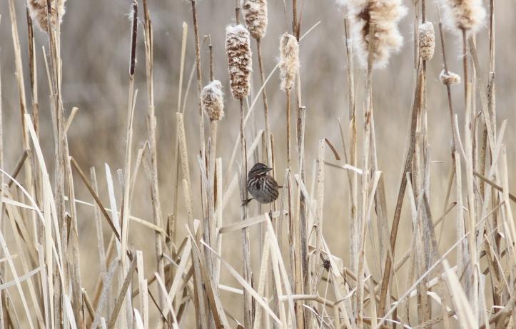 Song Sparrow 090902