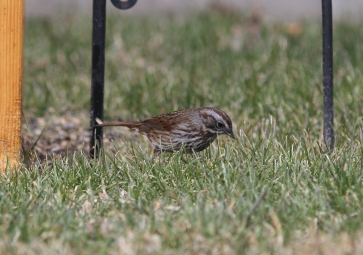Song Sparrow 0972bh