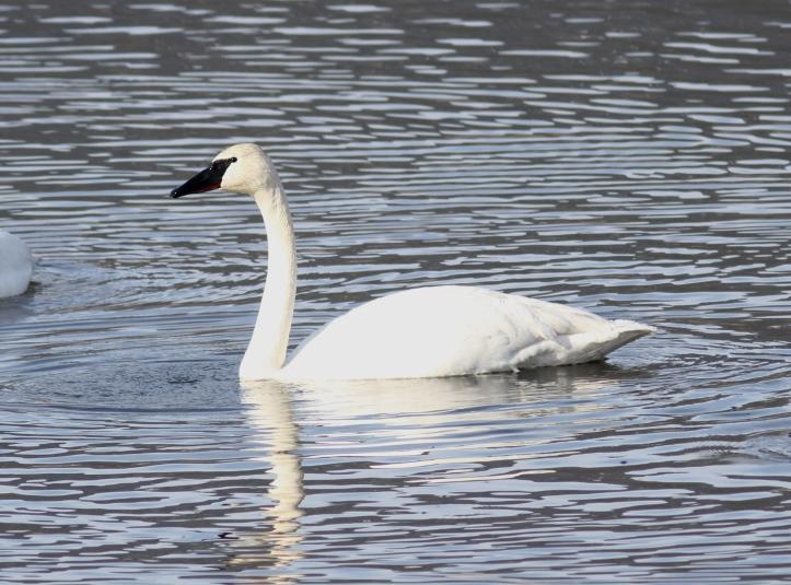 Trumpeter Swan jhkh2