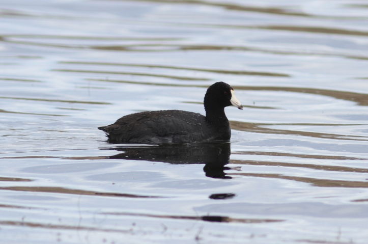 American Coot 90knd