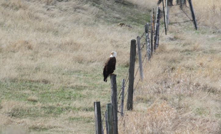 Bald Eagle kls