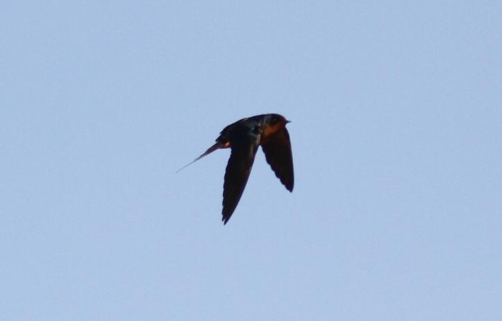 Barn Swallow vc